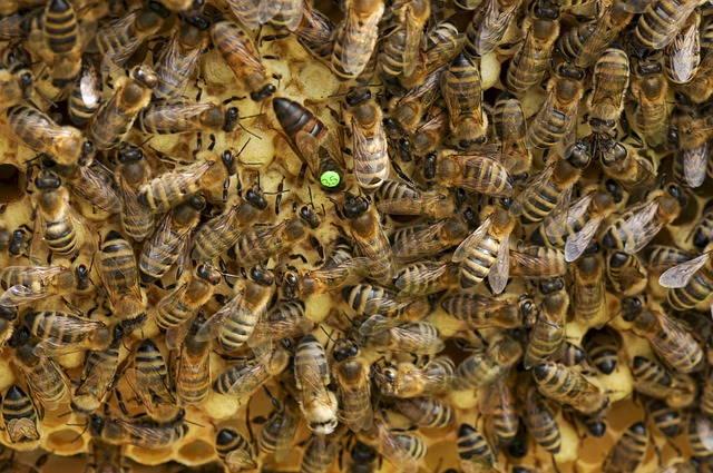 Wie funktioniert ein Bienenstaat