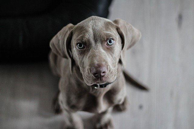 Die teuersten Hunderassen der Welt